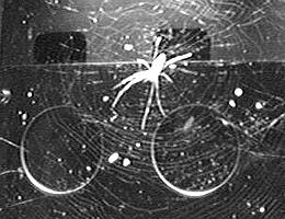 Ein Exemplar der Spinnenart Trichonephila clavipes an Bord der internationalen Raumstation ISS. (Bild: BioServe Space Technologies, University of Colorado Boulder)