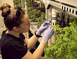 Jess Bunchek bei der Salat-Ernte. (Bild: AWI/Baden)